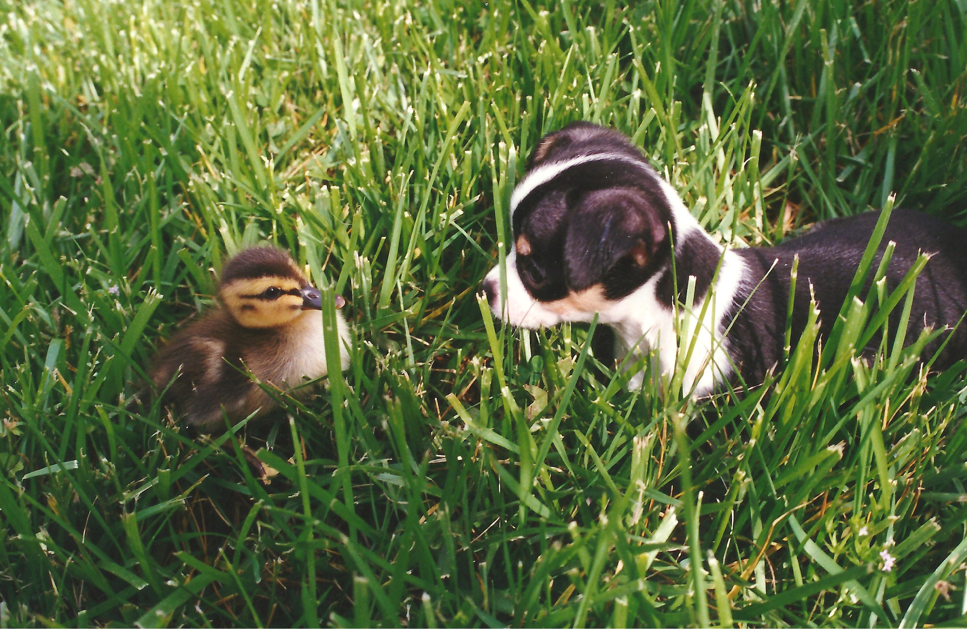 Meets duck 1